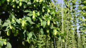 Conos de salto frescos verdes para hacer el primer de la cerveza y del pan Fondo agrícola Timelapse almacen de video