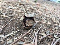 Conos de un pino caidos en la tierra en el bosque fotos de archivo libres de regalías