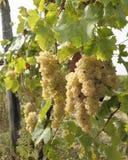 Conos de uvas blancas maduras Fotografía de archivo libre de regalías