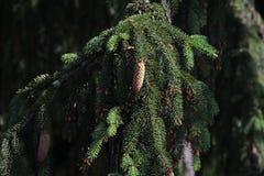 Conos del árbol de abeto Foto de archivo libre de regalías