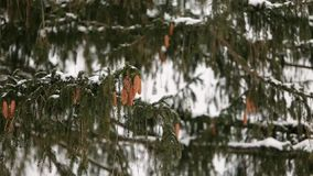 Conos del árbol de abeto en una rama Picea imperecedera durante las nevadas del invierno E metrajes