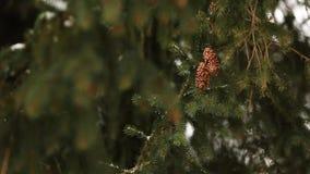 Conos del árbol de abeto en una rama Picea imperecedera durante las nevadas del invierno E almacen de video