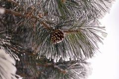 Conos del árbol de pino ponderosa en las ramas cubiertas con helada y nieve Imágenes de archivo libres de regalías