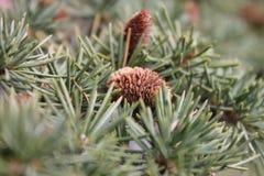 Conos del ‹Ð? шР¸ÑˆÐºÐ¸/Pine del ² Ñ del ¾ Ð del ½ Ð del  Ð del ¾ Ñ del ¡Ð de Ð Imagenes de archivo