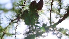 Conos del alerce con el bokeh soleado Árbol conífero en rayos de igualar el sol almacen de metraje de vídeo