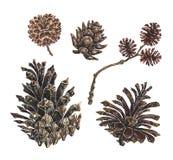 Conos del alerce y del pino, ejemplo de la acuarela stock de ilustración