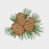 Conos del cedro coloreados en una rama libre illustration