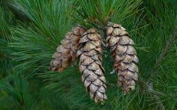 Conos del este del pino blanco Imagen de archivo