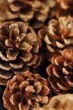 Conos del marrón del pino y fondo hermosos del invierno Imagenes de archivo