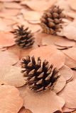 Conos del pino Fotos de archivo