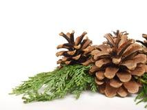 Conos del pino Foto de archivo libre de regalías