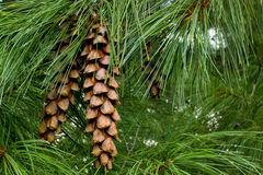 Conos del pino Fotografía de archivo