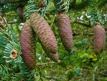 Conos del pino Fotos de archivo libres de regalías