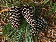 Conos del pino Imagen de archivo