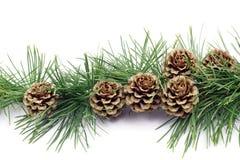 Conos del pino Imágenes de archivo libres de regalías