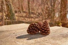 Conos 1 del pino Imagenes de archivo