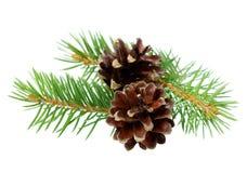 Conos del pino con la rama aislada en un blanco Imágenes de archivo libres de regalías