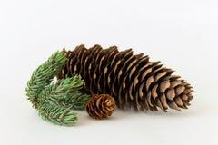 Conos del pino con la ramita del pino Fotos de archivo