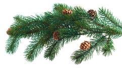 Conos del pino con las ramificaciones del pino Foto de archivo