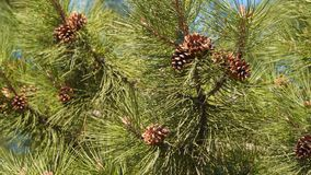 Conos del pino de Brown en el árbol metrajes
