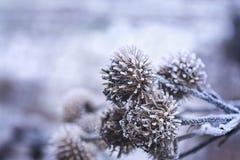 Conos del pino de la Navidad del invierno en la helada, foco selectivo Foto de archivo