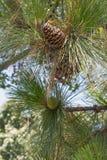 Conos del pino de Longleaf Imagen de archivo
