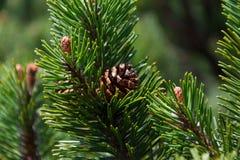 Conos del pino de montaña Fotografía de archivo