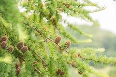 Conos del pino de un cierre del árbol de alerce para arriba Fotografía de archivo