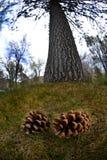 Conos del pino debajo del árbol alto foto de archivo libre de regalías