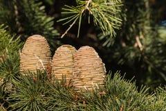 Conos del pino del árbol de abeto con la resina Fotos de archivo libres de regalías