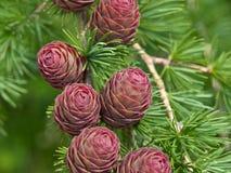 Conos del pino del árbol de navidad en la ramificación con las hojas Imagen de archivo libre de regalías
