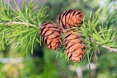 Conos del pino del abeto Imagen de archivo libre de regalías