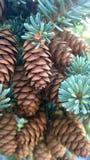 Conos del pino del mointain del túnel fotografía de archivo