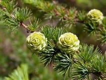 Conos del pino del árbol de navidad en la ramificación con las hojas Foto de archivo libre de regalías