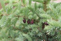Conos del pino en árbol de hoja perenne Fotos de archivo