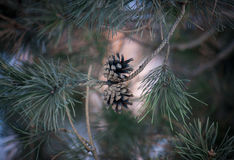 Conos del pino en el fondo del cielo Fotografía de archivo