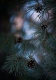 Conos del pino en el fondo del cielo Foto de archivo libre de regalías