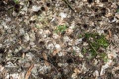 Conos del pino en el suelo del bosque Fotos de archivo