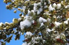 Conos del pino en invierno foto de archivo libre de regalías