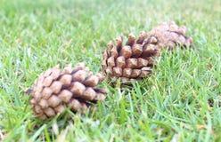 Conos del pino en la hierba Fotos de archivo libres de regalías