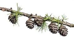 Conos del pino en la rama del árbol de la conífera Foto de archivo libre de regalías