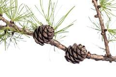 Conos del pino en la rama del árbol de la conífera Imágenes de archivo libres de regalías