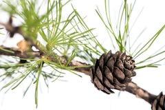 Conos del pino en la rama del árbol de la conífera Foto de archivo