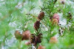Conos del pino en la ramificación de árbol Fotografía de archivo libre de regalías