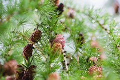 Conos del pino en la ramificación de árbol Fotos de archivo libres de regalías