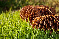 Conos del pino en hierba Foto de archivo