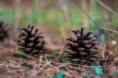 Conos del pino en la tierra Fotos de archivo libres de regalías