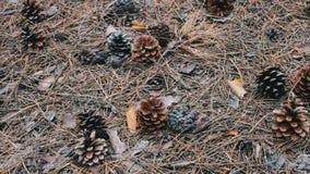 Conos del pino en la tierra en bosque almacen de video