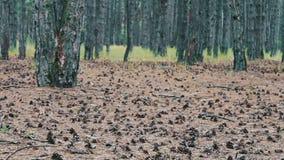 Conos del pino en la tierra en bosque metrajes