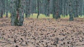 Conos del pino en la tierra en bosque almacen de metraje de vídeo